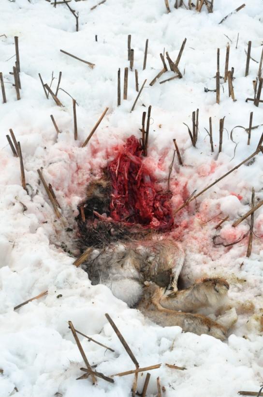 Död hare
